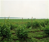 The vineyards of Pomorie by the sea